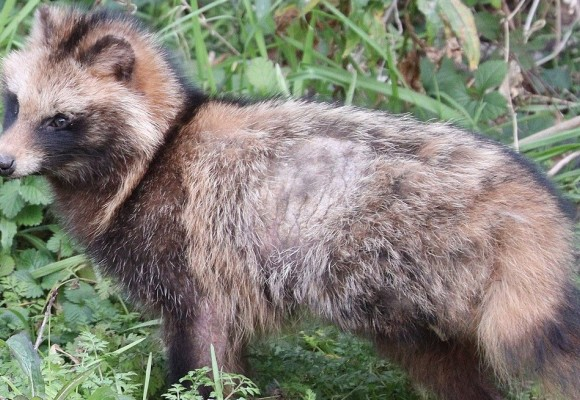 Jenoty - opis i występowanie gatunku, polowanie na jenoty