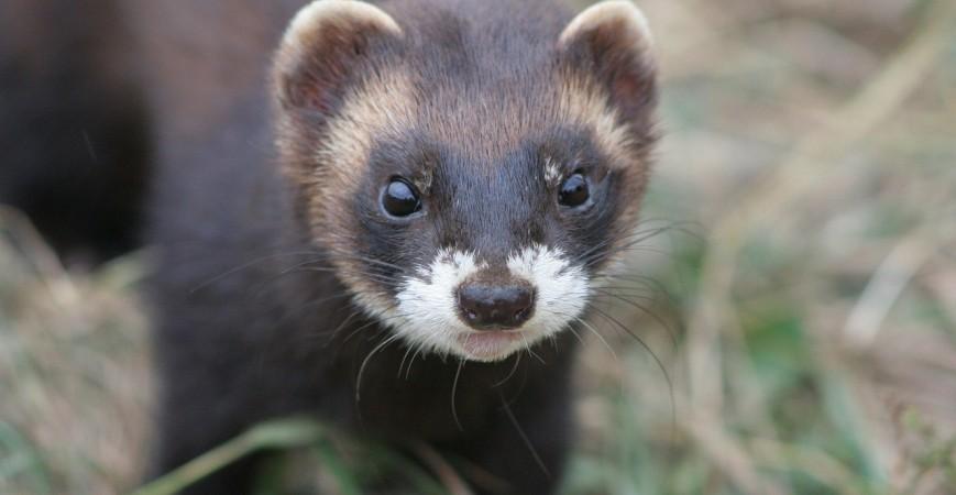 Tchórz zwyczajny - opis gatunku, występowanie i polowanie